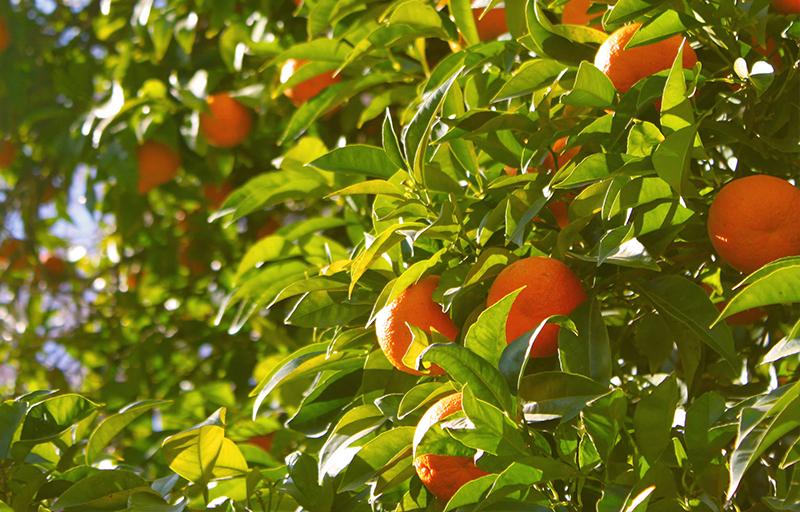 fruit of trees