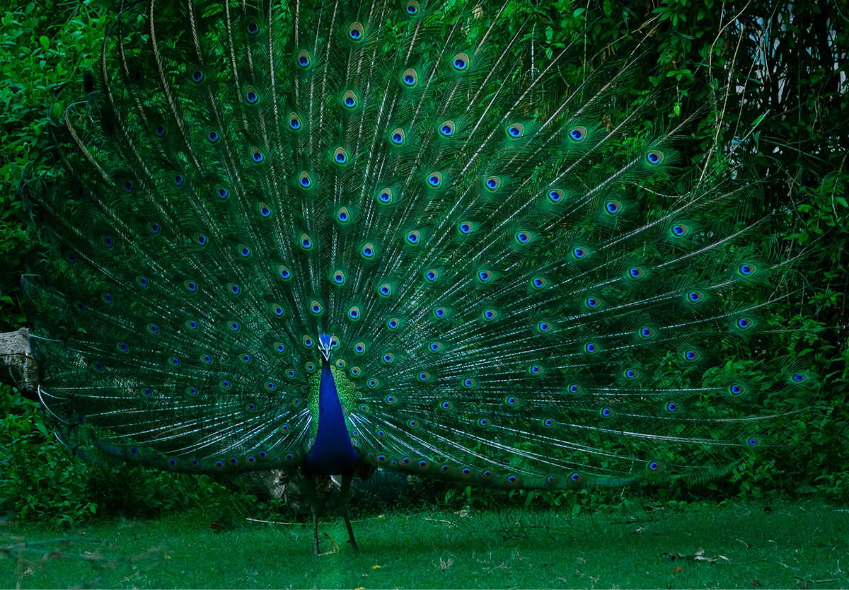 Peacock Obsession Good Works